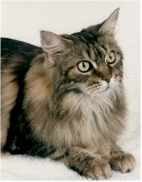 Image of Cowtown Marigold of Walmet, OD