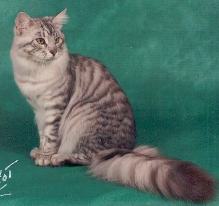 Image of McKittycreek B.B. Cody of Kitty-Up