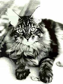 Image of Chandor Ben Erin of Charmingcat