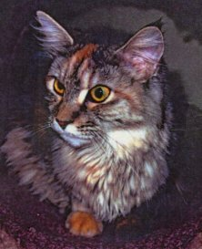 Image of Capecoon Shady Lady of Willowplace