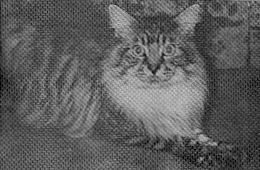Image of Purranch Hiho Billy Kat of Hevengift