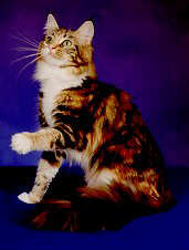 Image of Avicats Ruby Tuesday of Ailurophile