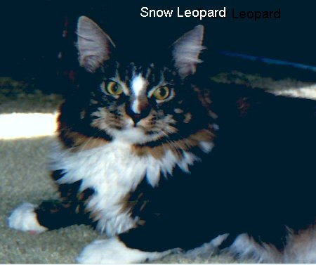 Image of Willowplace Snow Leopard