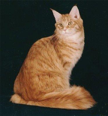 Image of Koontucky Tabasco Cat