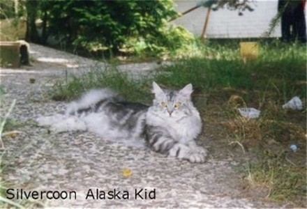 Image of Silvercoon Alaska Kid