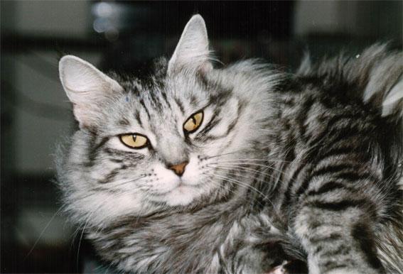 Image of Baghira von der Cat's Gallery