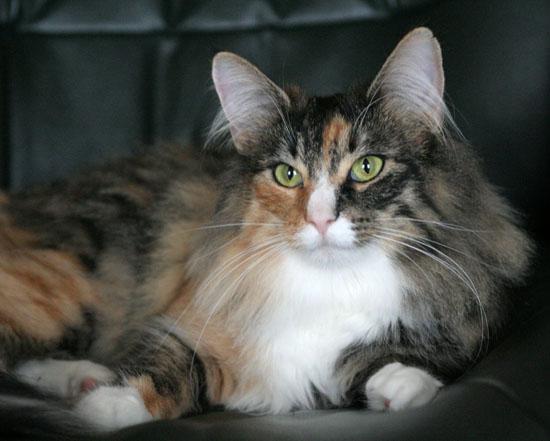 Image of Forest Cat Belle, DVM