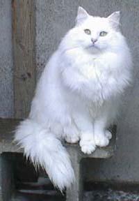 Image of Hvid Konge Felis Jubatus